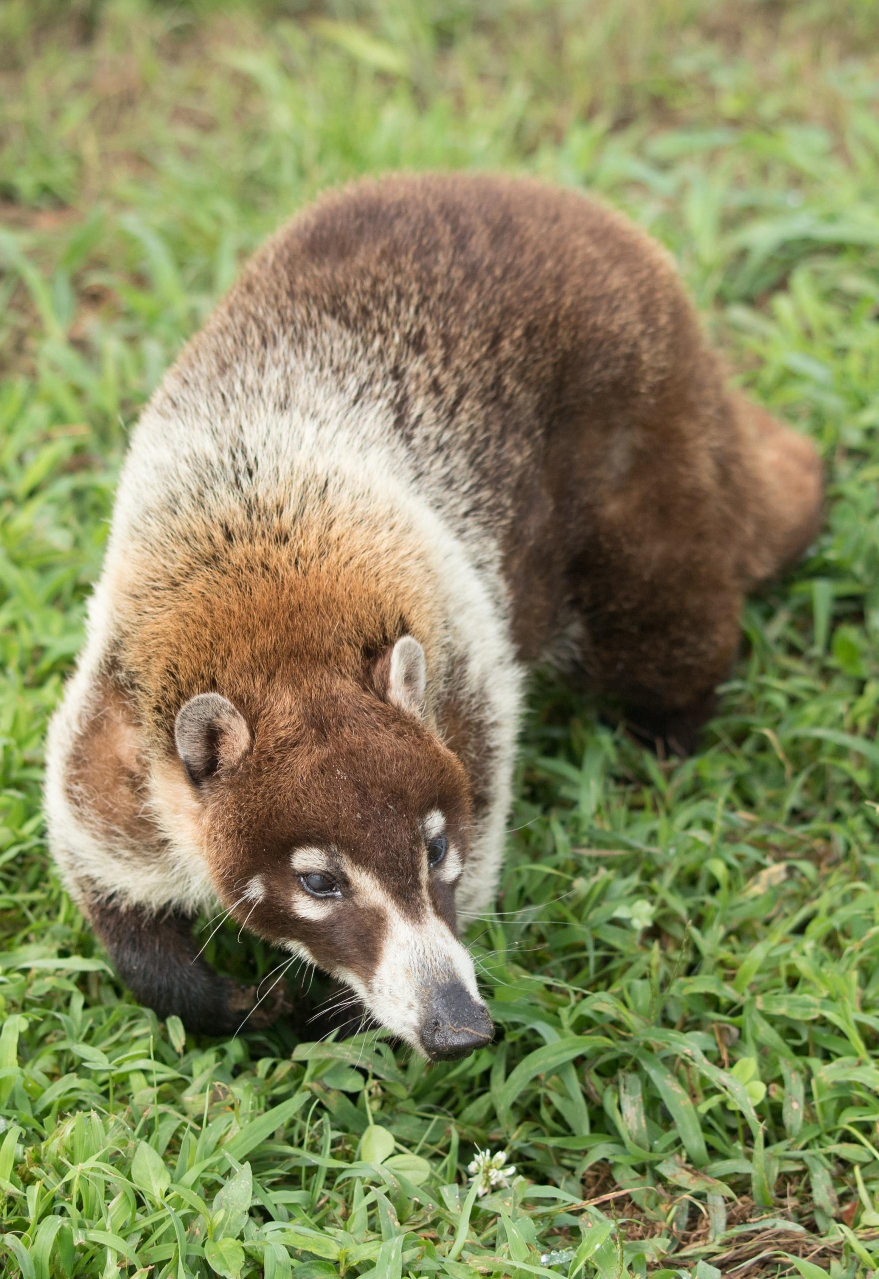 Flip White Nosed Coati