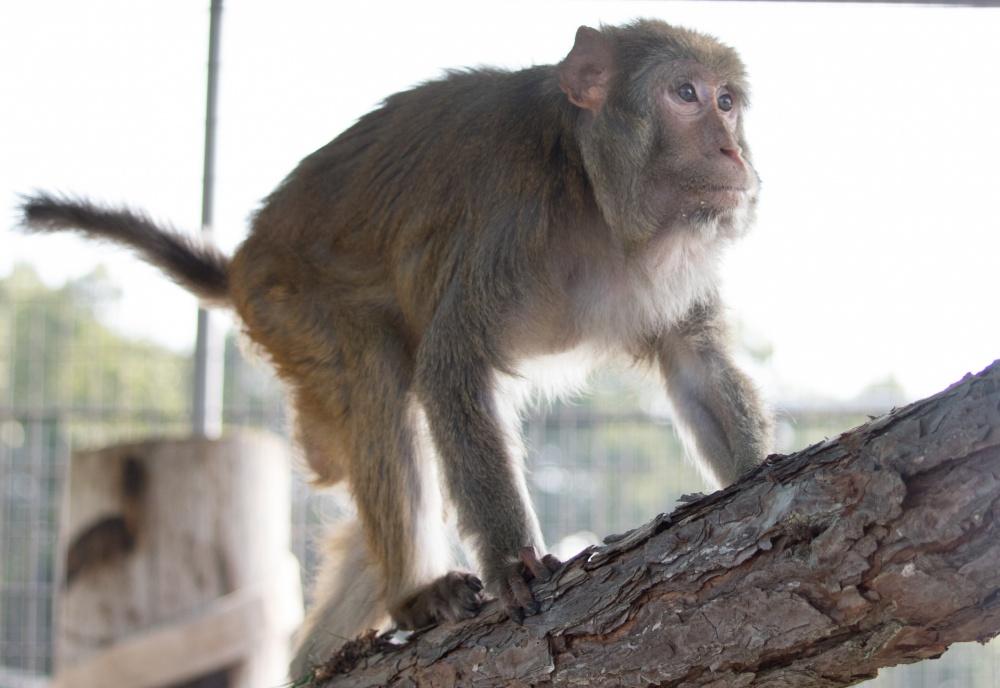 Goober Rhesus Macaque