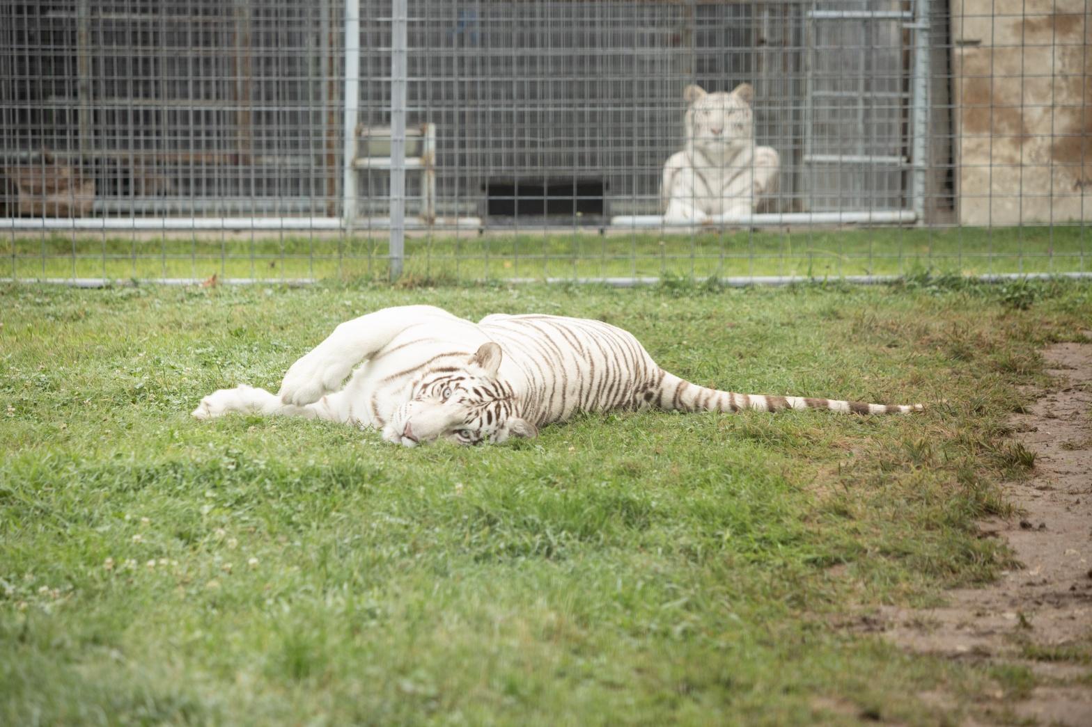 Tanya and Kizmin White Tigers