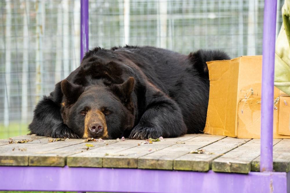 Koda B. Black Bear