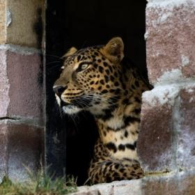 Selbit Leopard