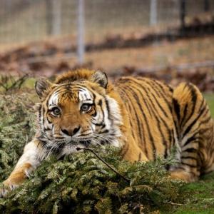 Thunder 2 Tiger