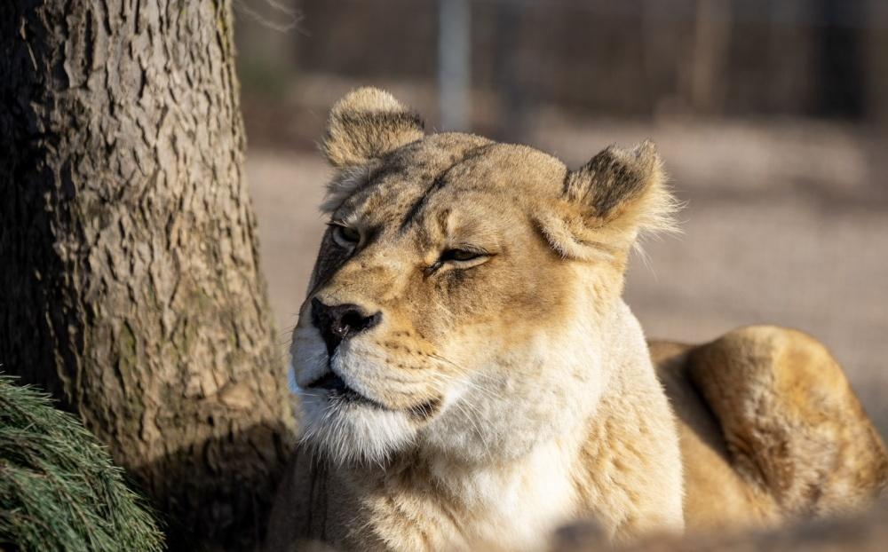 Chloe Lion