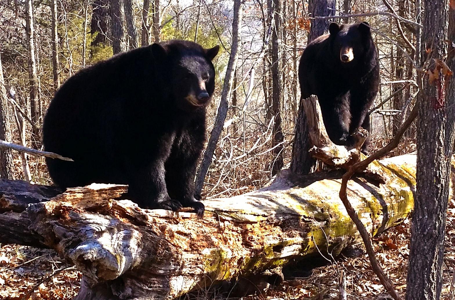 Holli & Lolli Black Bears