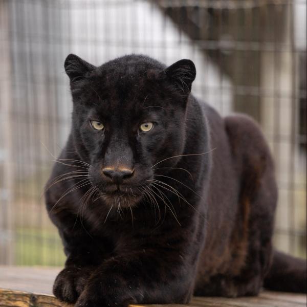 Spyke Black Leopard