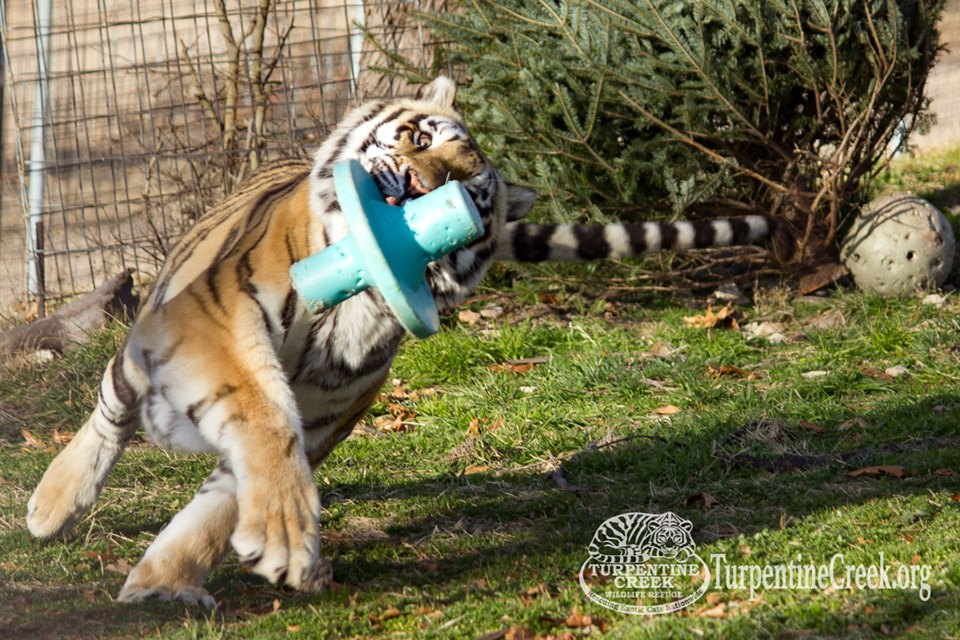 If you give a Tiger a Toy @ 10:30 am