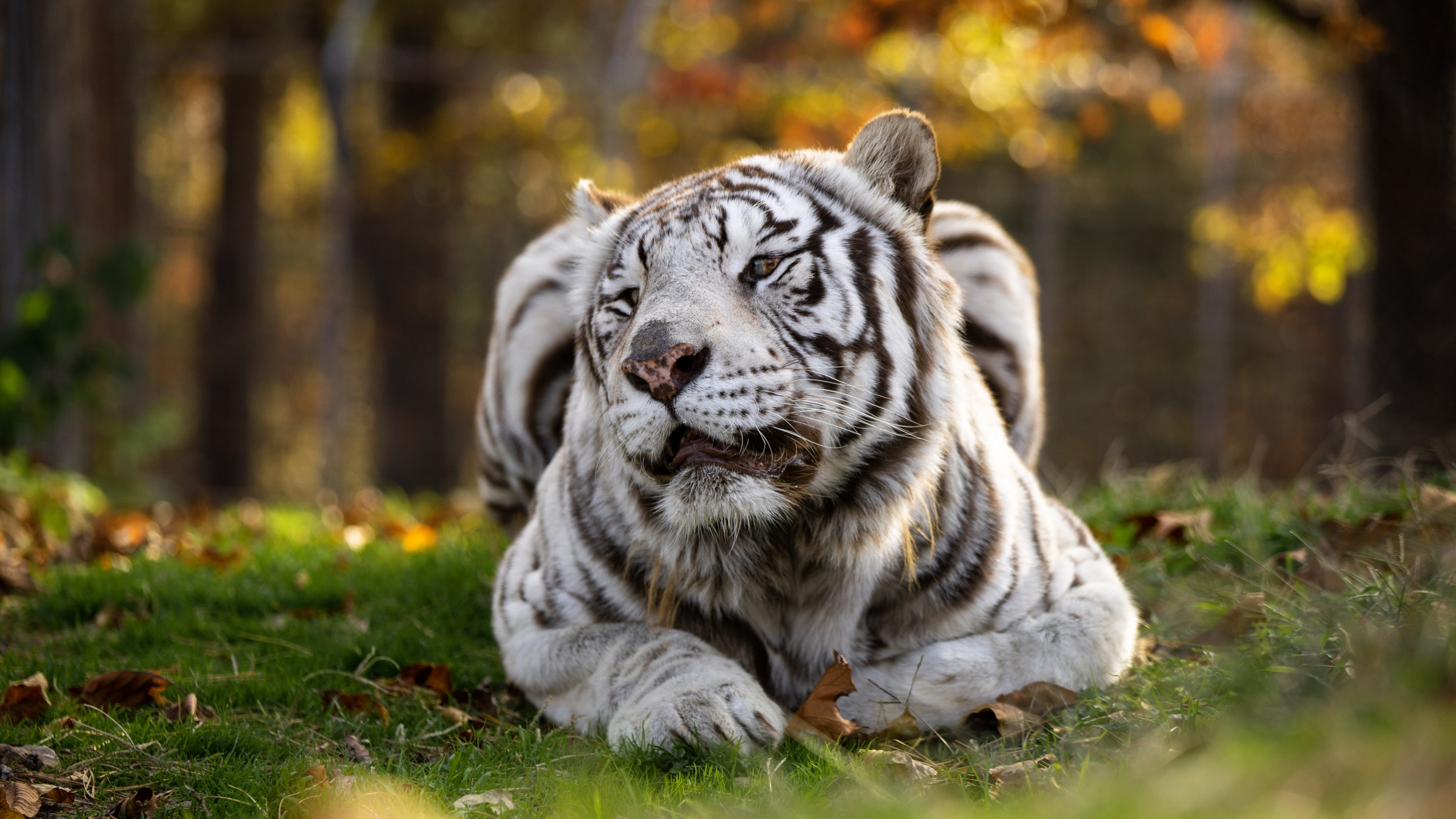 Where in the World are White Tigers? @ 9:30 am